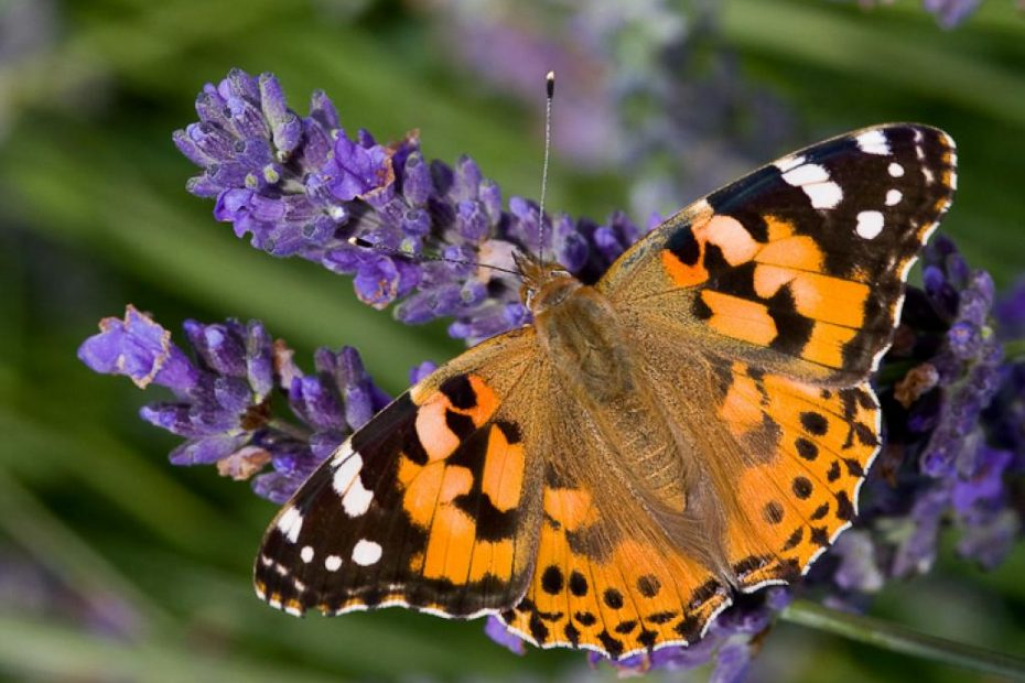 tyne valley express painted lady butterfly