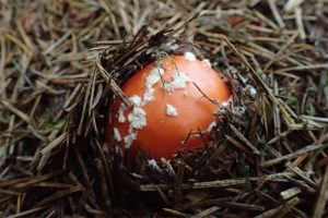 tyne-valley-express-emerging-fly-agaric