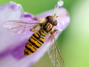 tyne-valley-express-hoverfly